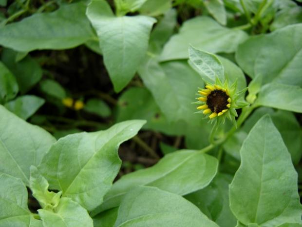 beach sunflower 2