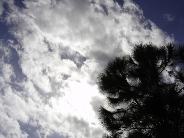 pine tree and sky two