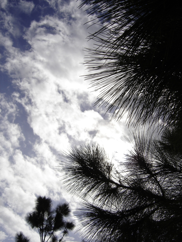 pine tree and sky