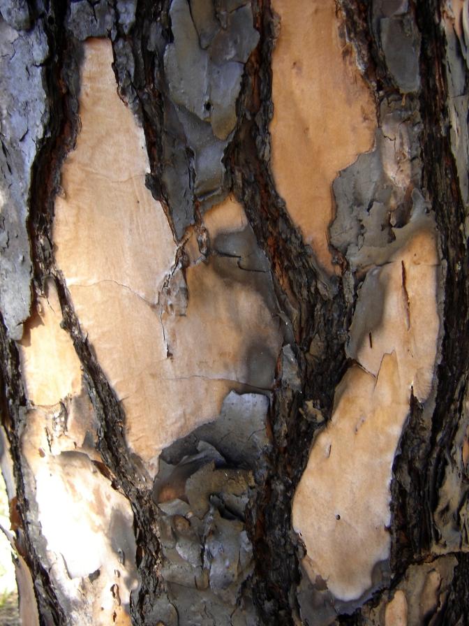 Burnt bark of a Longleaf Pine