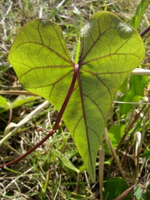 heart- shaped leaf
