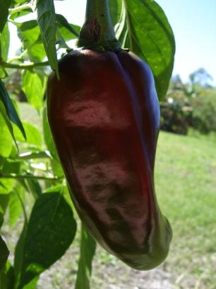 Chili turning red