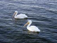 2 white pelicans 1