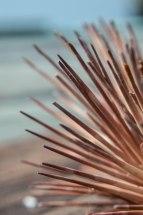 dead sea urchin (1)