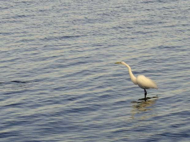 fishing egret 1