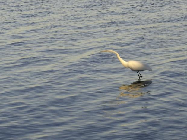fishing egret 2