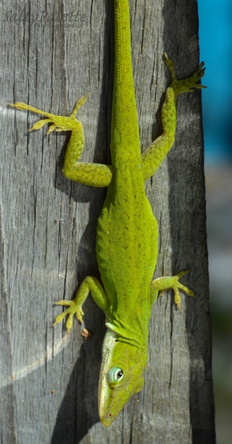 green anole (4)