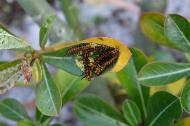polka dot wasp moth caterpillar