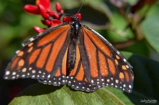 Naples BG Butterflies (2)