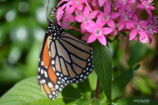 Naples BG Butterflies (5)