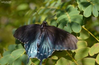 Naples BG Butterflies (7)