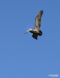 Pelican gliding by
