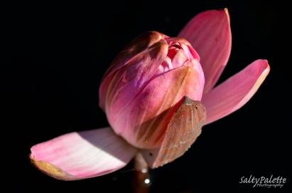 water lily Naples BG (1)