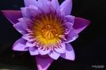 water lily Naples BG (3)