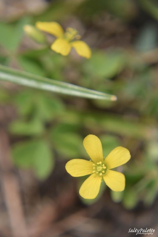 sour grass flower
