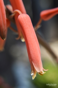 aloe bloom (3)