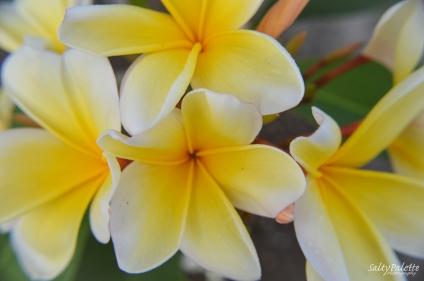 frangipani (1)