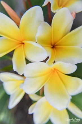 frangipani (2)