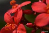 Sunlit Spicy Jatropha blooms
