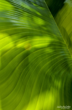 travelers palm leaf