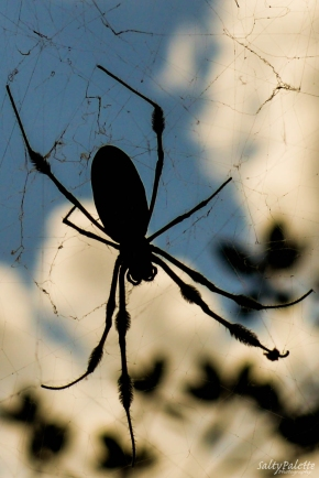 wicked banana spider (2)